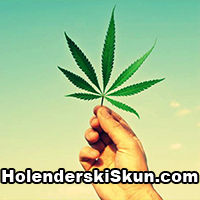 holenderski skun, holenderskiskun, marihuana, cannabis