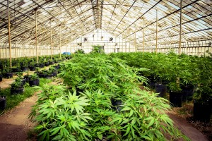 Medyczna marihuana   czy możemy się na niej opierać?, HolenderskiSkun, Holenderski Skun
