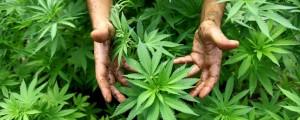 medyczna-marihuana-pacjenci-czekaja-rece