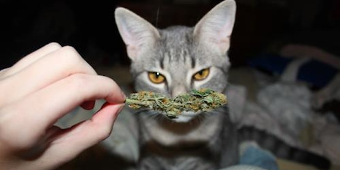 Cannabis sativa, podstawy, HolenderskiSkun, Holenderski Skun