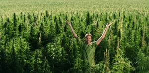 Cannabis indica, HolenderskiSkun, Holenderski Skun