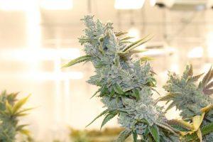 piekna-zielona-roslina-marihuany
