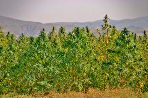 Szczepy bogate w CBD (jedną z dwóch głównych substancji znajdujących się w marihuanie) powracają, HolenderskiSkun, Holenderski Skun