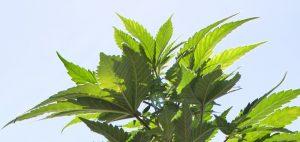 uprawa-medycznej-marihuany-liscie-roslina-zielona-konopia-indyjska