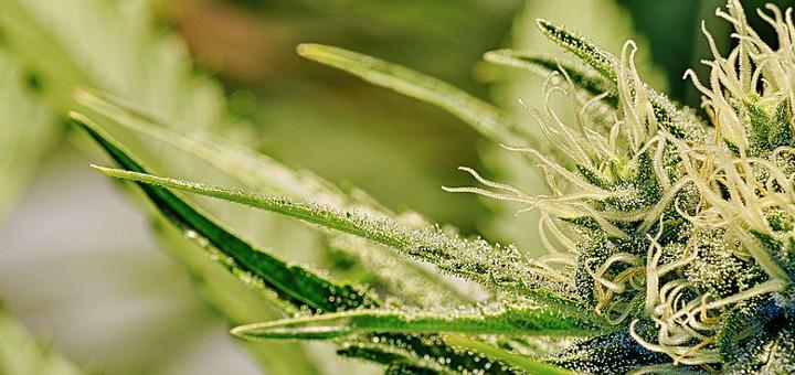 Marijuana essay