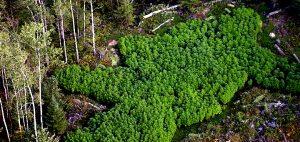 Korzyści środowiskowe, które przynosi legalizacja marihuany, HolenderskiSkun, Holenderski Skun
