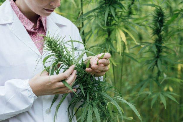 Stosowanie Marihuany Podczas Czasu Macierzyństwa nie jest Niezależnie Związane z Działaniami Niepożądanymi u Noworodków, HolenderskiSkun, Holenderski Skun