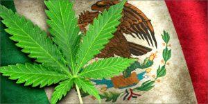 Meksyk zalegalizował marihuanę, ale jest haczyk, HolenderskiSkun, Holenderski Skun