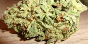 Cannabis zamiast papierosów, HolenderskiSkun, Holenderski Skun