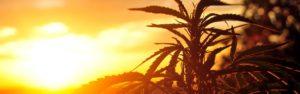Legalna medyczna marihuana, HolenderskiSkun, Holenderski Skun