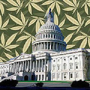 Waszyngton rozszerza program medycznej marihuany, HolenderskiSkun, Holenderski Skun