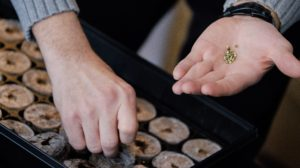 Zmiana klimatu może mieć wpływ na cannabis, HolenderskiSkun, Holenderski Skun