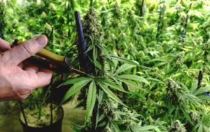 Co należy wziąć pod uwagę przy uprawie marihuany?, HolenderskiSkun, Holenderski Skun