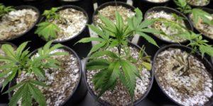 Czy cannabis zwiększa odporność?, HolenderskiSkun, Holenderski Skun