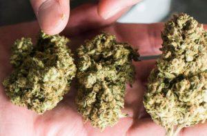 Cukier gra ważną rolę w uprawie marihuany, HolenderskiSkun, Holenderski Skun