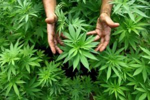 Przechowywanie cannabis, HolenderskiSkun, Holenderski Skun