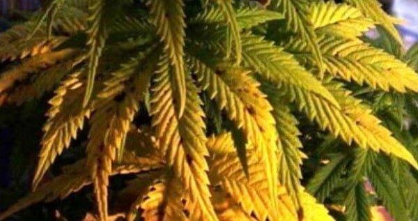 Etapy wzrostu cannabis, HolenderskiSkun, Holenderski Skun