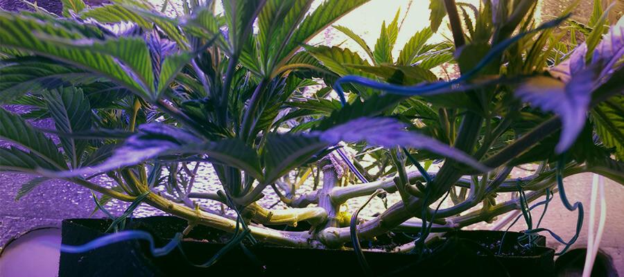 Uprawa indoor – wsparcie dla obfitych pąków, HolenderskiSkun, Holenderski Skun
