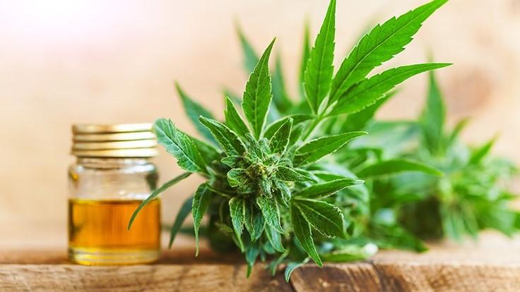 Miód w uprawie cannabis, HolenderskiSkun, Holenderski Skun