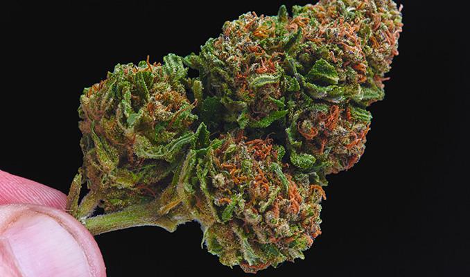 Sucha marihuana – co robić?, HolenderskiSkun, Holenderski Skun