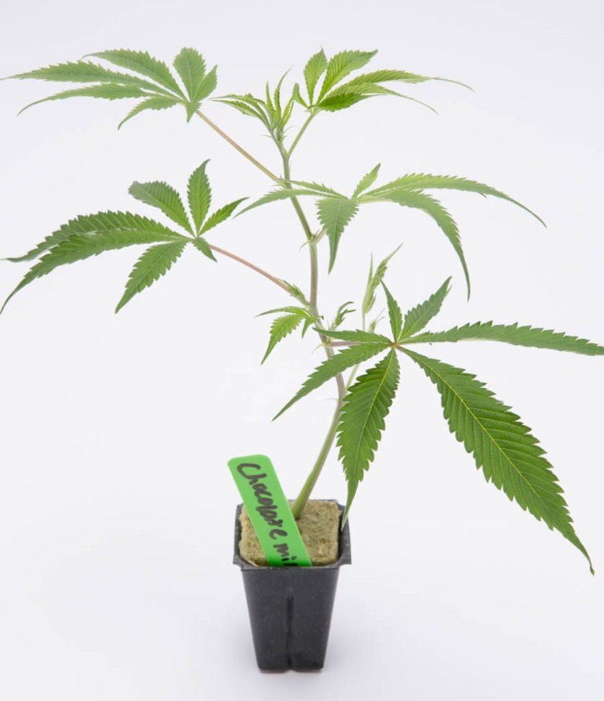 Uzależnienie od cannabis związane jest z genetyką, HolenderskiSkun, Holenderski Skun