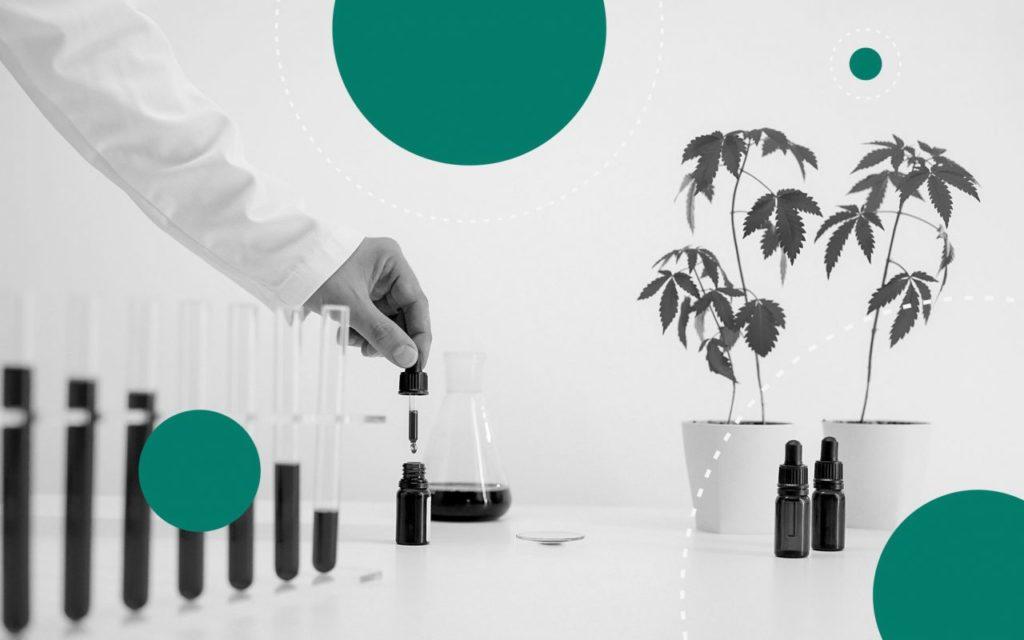7 Odmian Cannabis o Efektach Umysłowych, HolenderskiSkun, Holenderski Skun