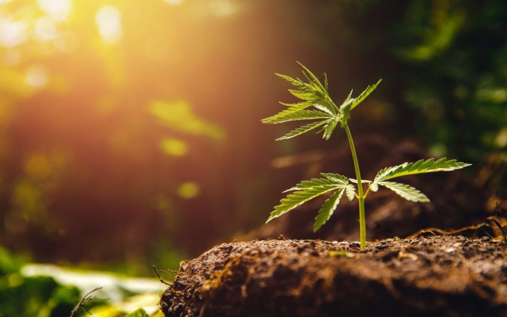 Automatycznie Kwitnące Nasiona Marihuany, HolenderskiSkun, Holenderski Skun