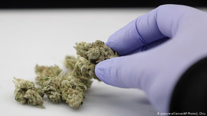 Cannabis Może Blokować Infekcje COVID 19, HolenderskiSkun, Holenderski Skun