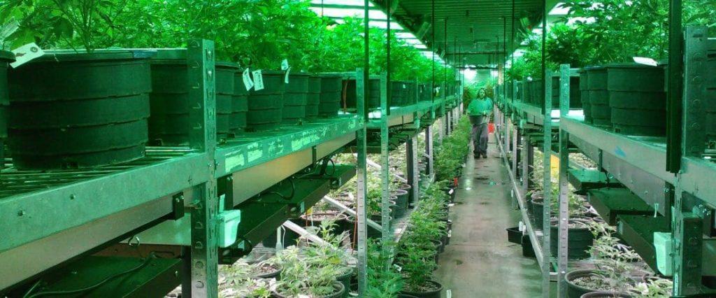 Cannabis w Walce z Rakiem Piersi, HolenderskiSkun, Holenderski Skun