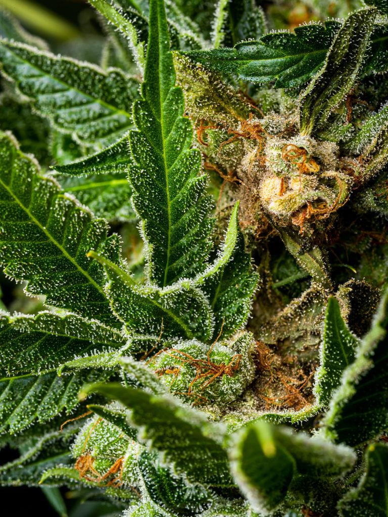 Czy Powinieneś Obawiać Się Obecności Pestycydów w Marihuanie?, HolenderskiSkun, Holenderski Skun