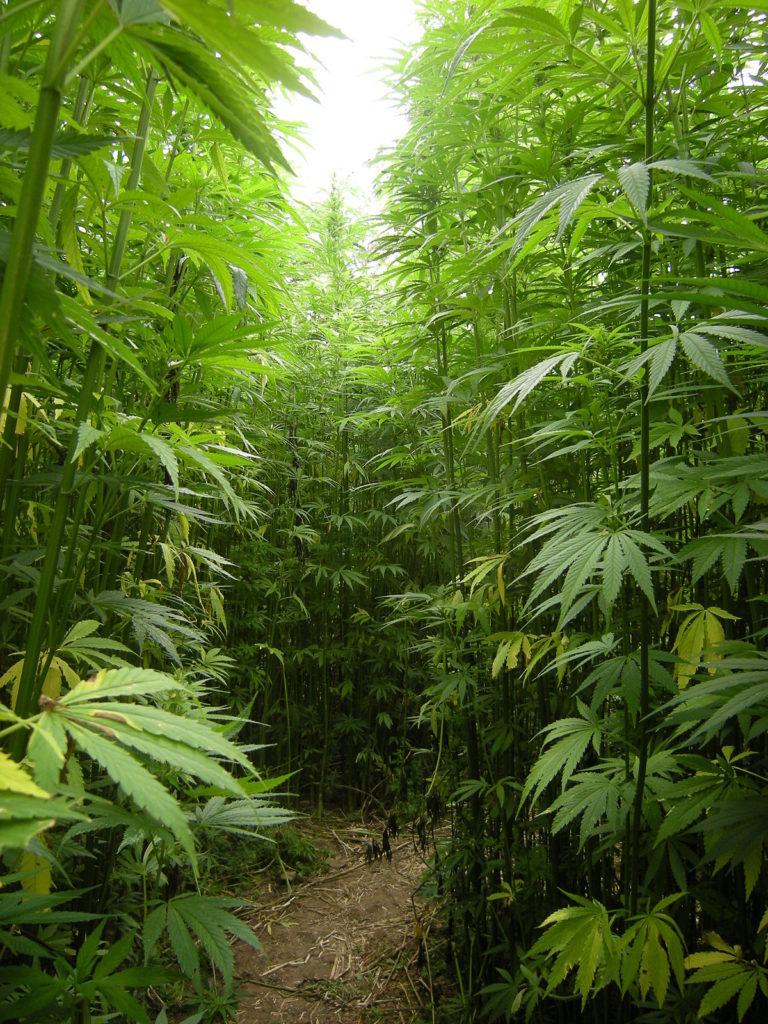 Jaka Jest Różnica Między Słodkimi i Owocowymi Odmianami Marihuany?, HolenderskiSkun, Holenderski Skun