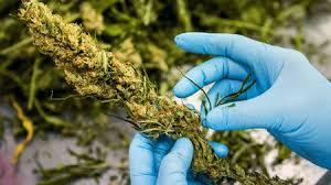 Rośliny Marihuany: Zrozumienie Trichomów, HolenderskiSkun, Holenderski Skun