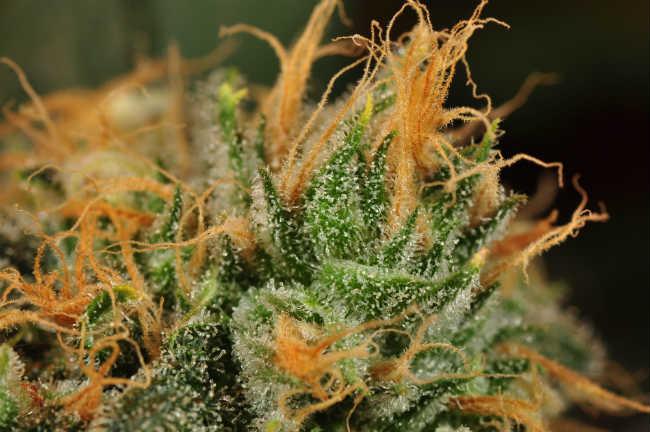Jak Długo Trwa Uprawa Roślin Cannabis?, HolenderskiSkun, Holenderski Skun