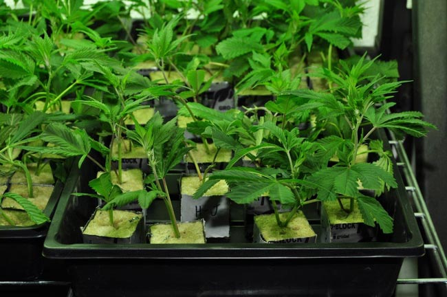 Jak Poprawnie Przechowywać Nasiona Marihuany, HolenderskiSkun, Holenderski Skun