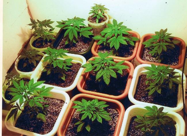 Jak Prawidłowo Umieścić Rośliny w Pokoju Uprawy, HolenderskiSkun, Holenderski Skun