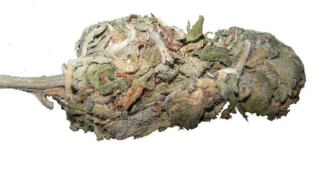 Jak Sprawdzić Czy Marihuana Nie Jest Zepsuta, HolenderskiSkun, Holenderski Skun