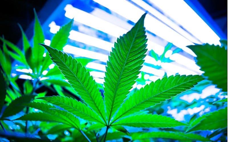 Legalizacja Marihuany Związana z Mniejszym Używaniem Marihuany, HolenderskiSkun, Holenderski Skun