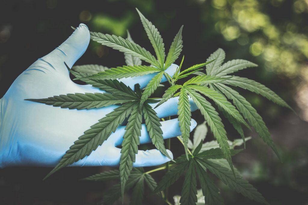 Pacjenci Marihuany z ADHD Używają Mniej Leków na Receptę, HolenderskiSkun, Holenderski Skun